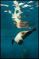 Sea lion swimming upside down with surface reflection, Santa Barbara Island. Channel Islands National Park ( color)