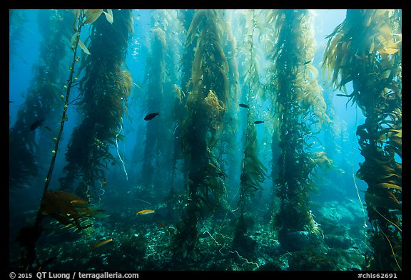 Giant kelp forest, Santa Barbara Island. Channel Islands National Park (color)