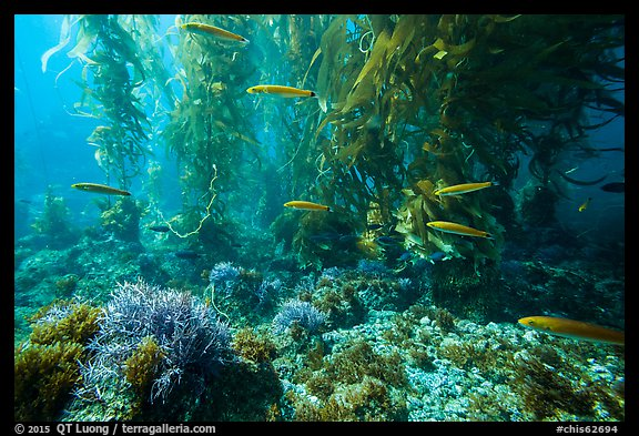 Ocean floor, fish, and kelp forest, Santa Barbara Island. Channel Islands National Park (color)