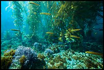 Ocean floor, fish, and kelp forest, Santa Barbara Island. Channel Islands National Park ( color)