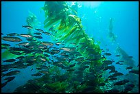 School of fish in kelp forest, Santa Barbara Island. Channel Islands National Park ( color)