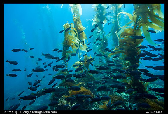 Blackmith schooling in giant kelp, Santa Barbara Island. Channel Islands National Park (color)