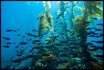 Blackmith schooling in giant kelp, Santa Barbara Island. Channel Islands National Park ( color)