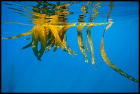 Drifting kelp and reflection, Santa Barbara Island. Channel Islands National Park ( color)