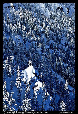 Pine forest on slope in winter. Crater Lake National Park (color)