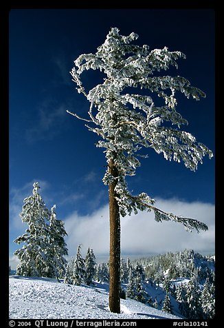 Frost-covered pine tree. Crater Lake National Park, Oregon, USA.