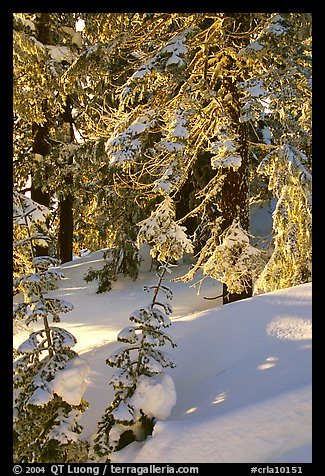 Fresh snow on sunlit branches. Crater Lake National Park (color)