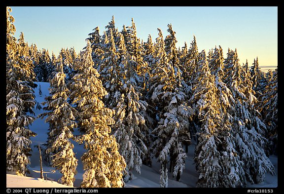 Conifers with fresh snow and sunset light. Crater Lake National Park (color)