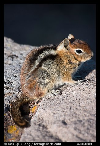 Ground squirel. Crater Lake National Park, Oregon, USA.