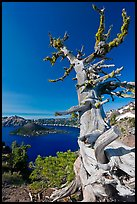 Whitebark pine tree and lake. Crater Lake National Park, Oregon, USA. (color)