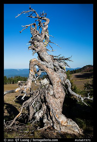 Gnarly whitebark pine tree. Crater Lake National Park (color)