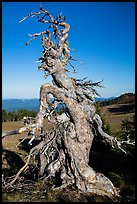 Gnarly whitebark pine tree. Crater Lake National Park ( color)