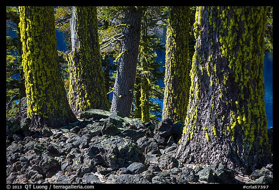 Lava rocks and Western Hemlock trees with lichen, Wizard Island. Crater Lake National Park (color)