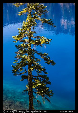 Tree and transparent blue waters, Wizard Island. Crater Lake National Park (color)
