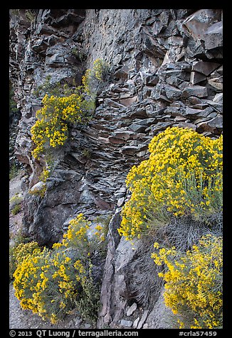 Sage flowers and cliff, Cleetwood Cove. Crater Lake National Park (color)