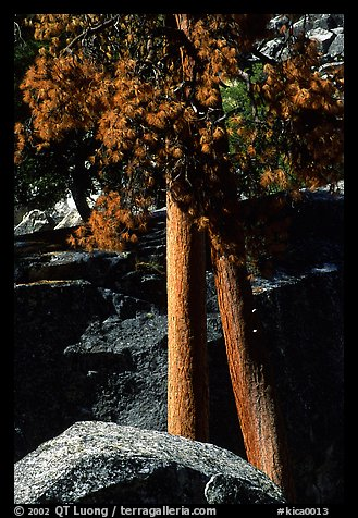 Pine trees with yellowed leaves, Cedar Grove. Kings Canyon National Park (color)