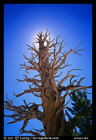 Dead lodgepole pine tree. Kings Canyon National Park (color)