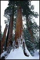 Giant Sequoia trees in winter, Grant Grove. Kings Canyon  National Park, California, USA.