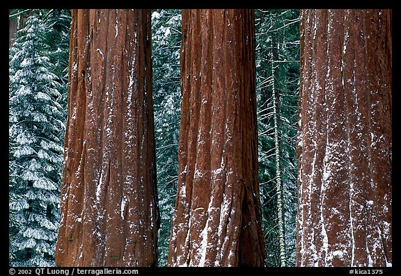 Three Sequoias trunks in Grant Grove, winter. Kings Canyon National Park (color)