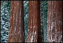 Three Sequoias trunks in Grant Grove, winter. Kings Canyon National Park, California, USA. (color)