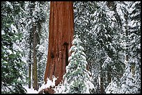 Sequoias in Grant Grove, winter. Kings Canyon National Park, California, USA. (color)