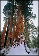 Giant Sequoia trees (Sequoia giganteum) in winter, Grant Grove. Kings Canyon National Park, California, USA. (color)