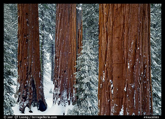 Sequoias (Sequoiadendron giganteum) and pine trees covered with fresh snow, Grant Grove. Kings Canyon National Park, California, USA.