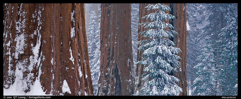 Sequoia forest in snow. Kings Canyon National Park (color)