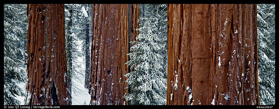 Sequoias grove in winter. Kings Canyon National Park (color)