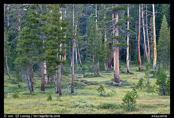 Pine trees in Big Pete Meadow, Le Conte Canyon. Kings Canyon National Park (color)