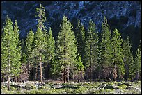 Pine trees and cliff in shade, Cedar Grove. Kings Canyon National Park, California, USA.