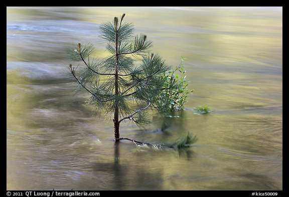 Flooded pine sappling and reflections. Kings Canyon National Park (color)