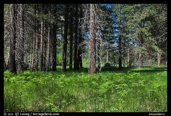 Ferns and trees bordering Zumwalt Meadows. Kings Canyon National Park (color)