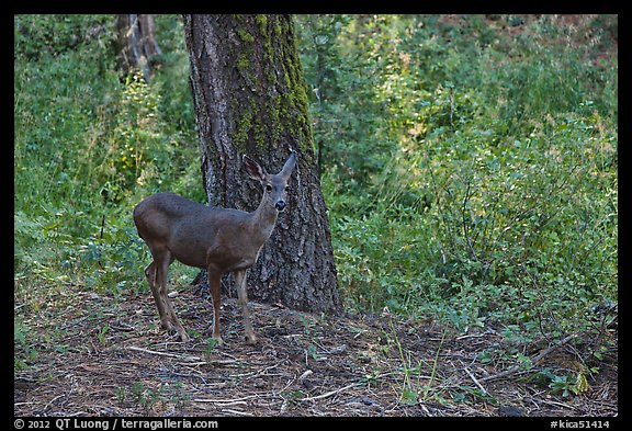 Juvenile deer. Kings Canyon National Park (color)