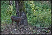 Juvenile deer. Kings Canyon National Park ( color)