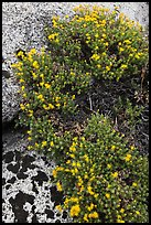 Flowers on granite crack. Kings Canyon National Park, California, USA. (color)
