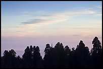Silhouettes of sequoia tree tops at sunset. Kings Canyon National Park, California, USA. (color)