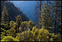 Trees on Cedar Grove valley rim. Kings Canyon National Park, California, USA. (color)