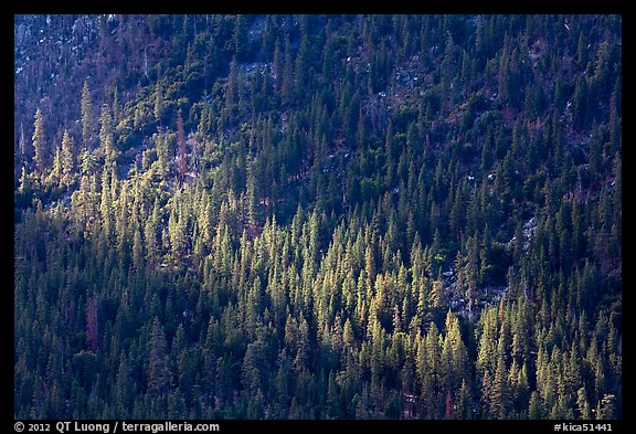 Forest on Cedar Grove valley walls. Kings Canyon National Park (color)