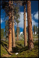 Ponderosa pine trees and sky, Hotel Creek. Kings Canyon National Park, California, USA. (color)