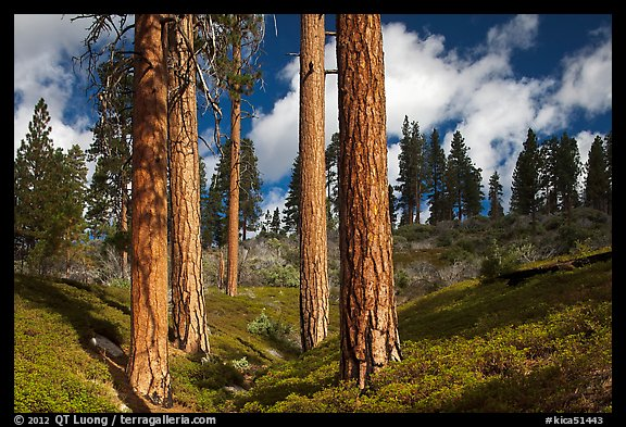 Group of Ponderosa pines and sky. Kings Canyon National Park (color)