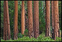 Textured trunks of Ponderosa pines. Kings Canyon National Park ( color)