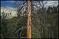 Standing tree skeleton. Kings Canyon National Park, California, USA. (color)
