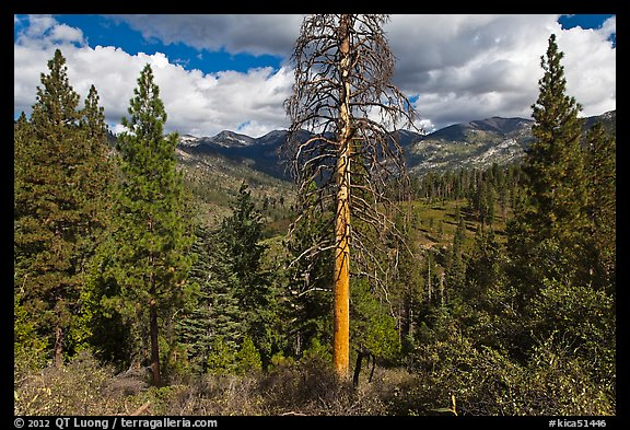 Tall standing dead tree and forest. Kings Canyon National Park (color)