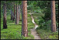 Trail in pine forest. Kings Canyon National Park, California, USA. (color)