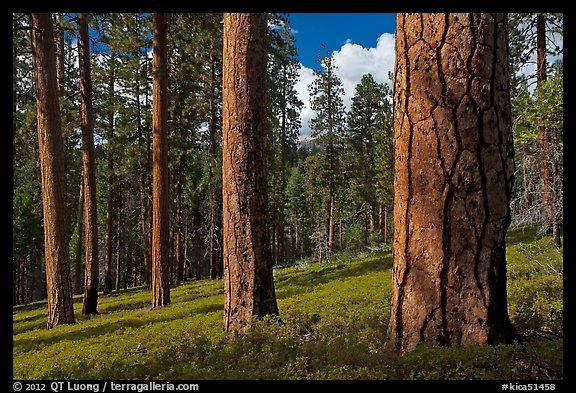 Ponderosa pine forest. Kings Canyon National Park (color)