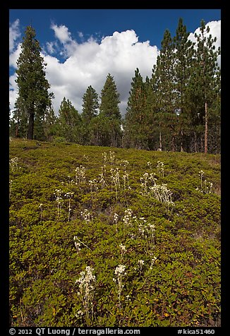 Wildflowers and pine forest. Kings Canyon National Park (color)