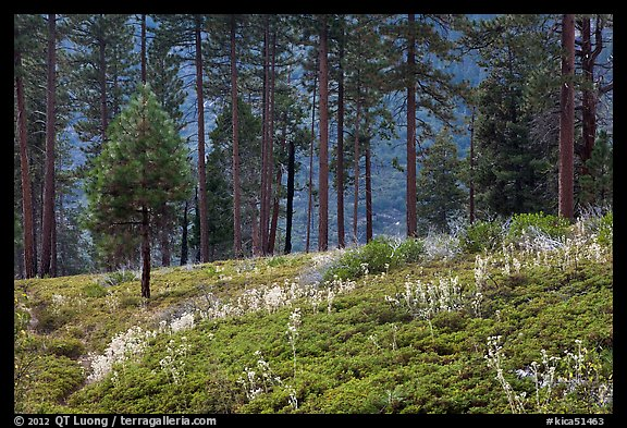 Wildflowers and trees above Lewis Creek. Kings Canyon National Park (color)