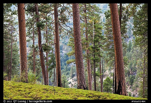 Pine trees, Lewis Creek. Kings Canyon National Park (color)