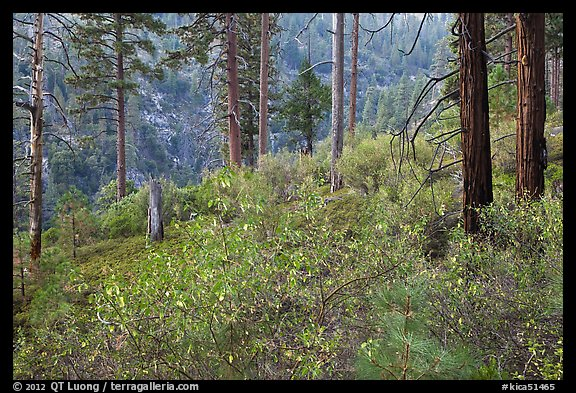 Forest scene, Lewis Creek. Kings Canyon National Park (color)